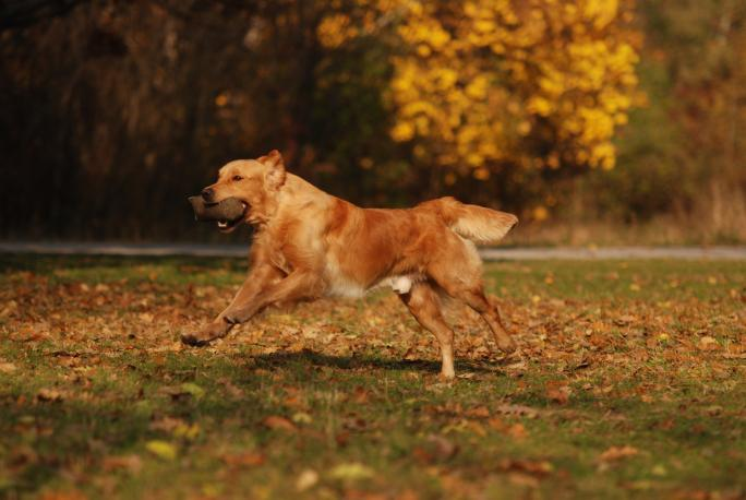 Golden Retriever (moorhunde.de)