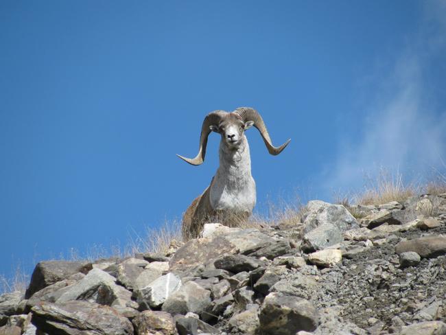 Argali in Kirgisistan. Diese Argali-Unterart profitiert von nachhaltiger Jagd.