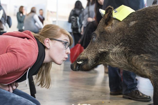 Wildschwein und Messebesucherin