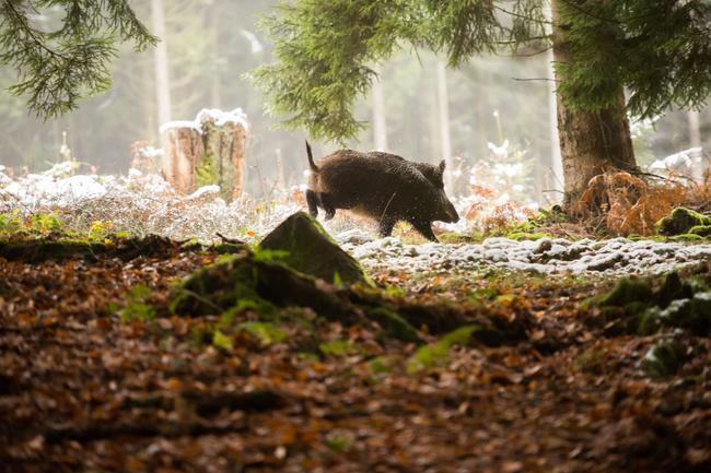 Die ASP ist eine anzeigepflichtige Virusinfektion, die ausschließlich Wild- und Hausschweine betrifft.
