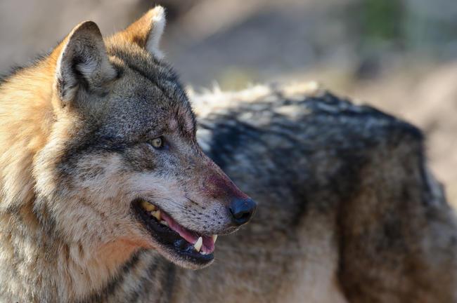 Die Konflikte nehmen mit dem kontinuierlich wachsenden Wolfsbestand in Deutschland zu:  Allein die Schäden an Nutztieren sind von 2017 auf 2018 um 35 Prozent gestiegen.
