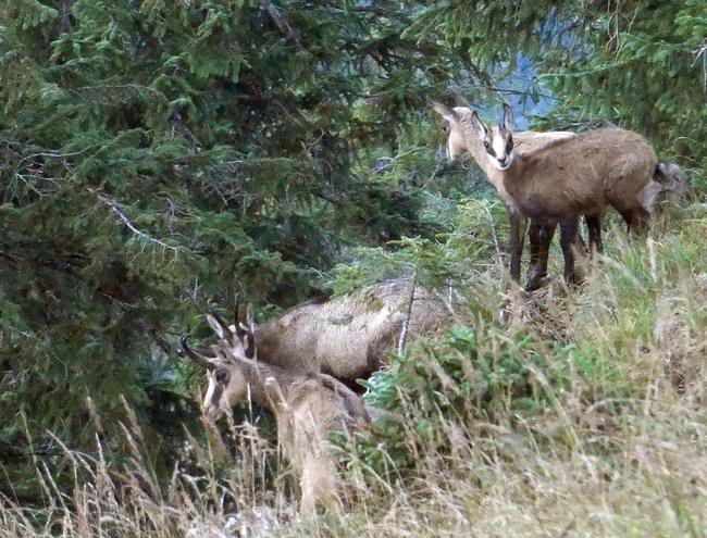 Seit etwa 10 Jahren nehmen die Populationen der Gämse im Alpenraum in unterschiedlichem Ausmaß ab.