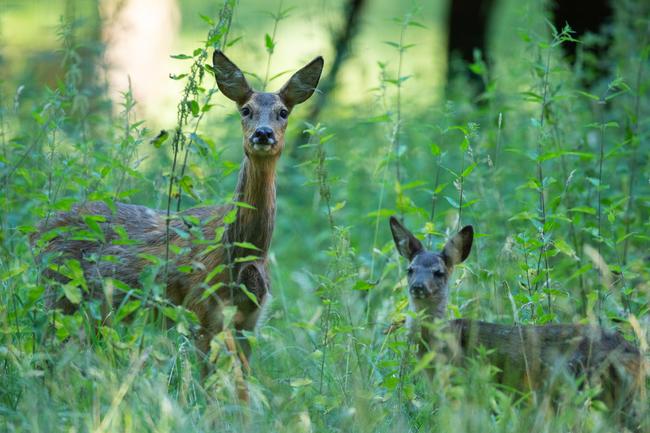 Die Waldstrategie 2050 sieht den Abschuss von Wildtieren als alleinige Lösung für den Waldumbau vor.