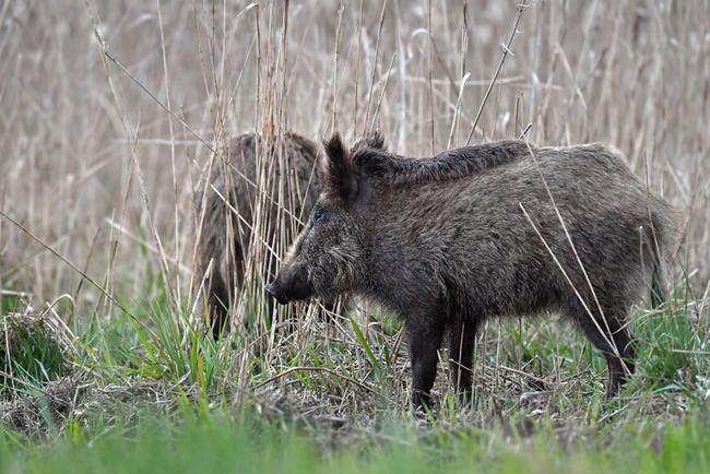 Anlässlich der Agrarministerkonferenz fordern der DBV und der DJV ein koordiniertes Vorgehen gegen die Afrikanische Schweinepest.