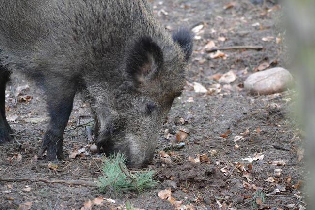 Nach Brandenburg ist nun auch in Sachsen ein Fall der Afrikanischen Schweinepest nachgewiesen worden.