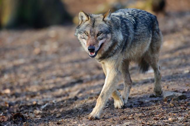 Eine Ausnahmegenehmigung ermöglichte den Abschuss eines Problemwolfs im niedersächsischen Herzlake.