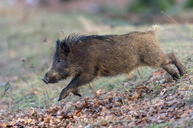 882.231 erlegte Wildschweine im Jagdjahr 2019/2020. Ein neuer Rekord. (Quelle: Rolfes/DJV)
