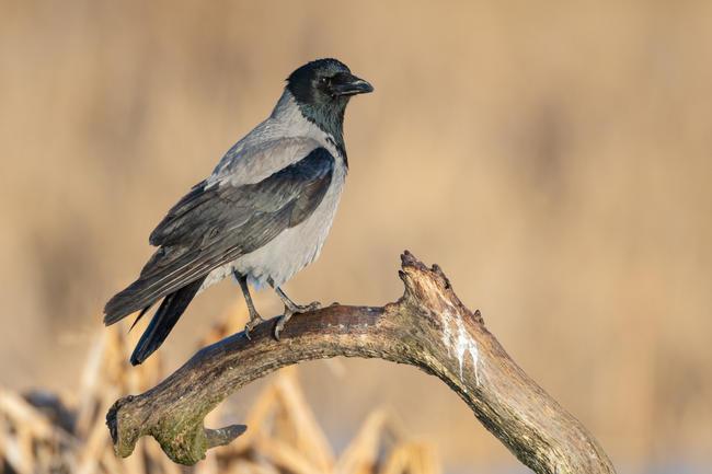 Die Bestände der Rabenvögel in Deutschland sind stabil oder steigen an. Um landwirtschaftliche Kulturen oder gefährdete Arten zu schützen, bedarf es einer effektiven Bejagung der Allesfresser.