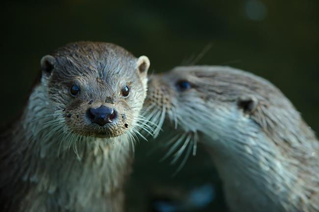 Semiaquatische Säuger wie Fischotter bilden einen Schwerpunkt der achten flächendeckenden Erfassung.