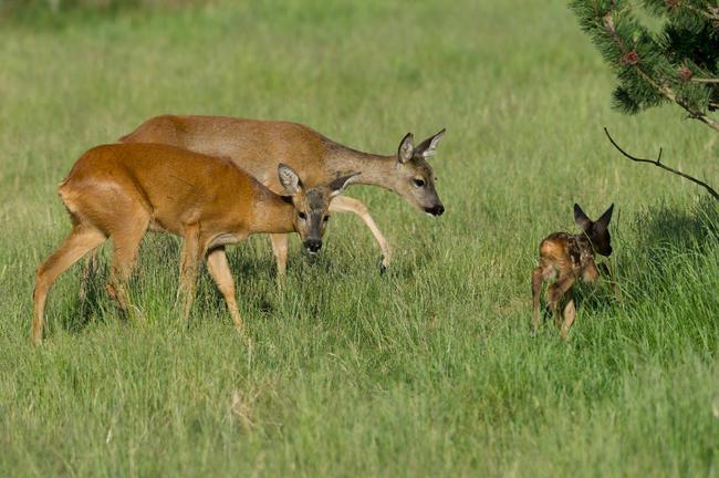 Beim Waldumbau müssen Reh- und Rotwild in ihrem Lebensraum berücksichtigt werden.