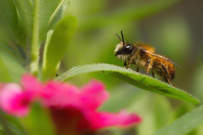 In Deutschland gibt es neben der Honigbiene 560 verschiedene Wildbienenarten, etwa die Hälfte davon ist bereits gefährdet.