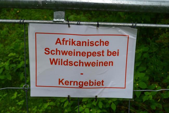 Flächenbrand: Die Afrikanische Schweinepest tritt nun in sechs brandenburgischen Landkreisen auf. Der LJVB fordert mehr Unterstützung bei der Seuchenbekämpfung.