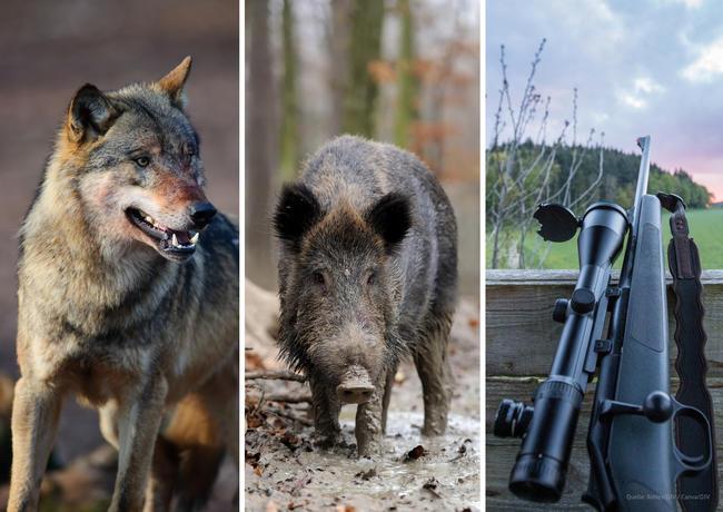 Wolf, ASP oder Waffenrecht: Zu strittigen Themen hat der DJV im Vorfeld der Bundestagswahl Forderungen aufgestellt.