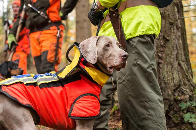 Jagdhunde im Einsatz: Antibiotika sind häufig essenziell für die Behandlung von Verletzungen.