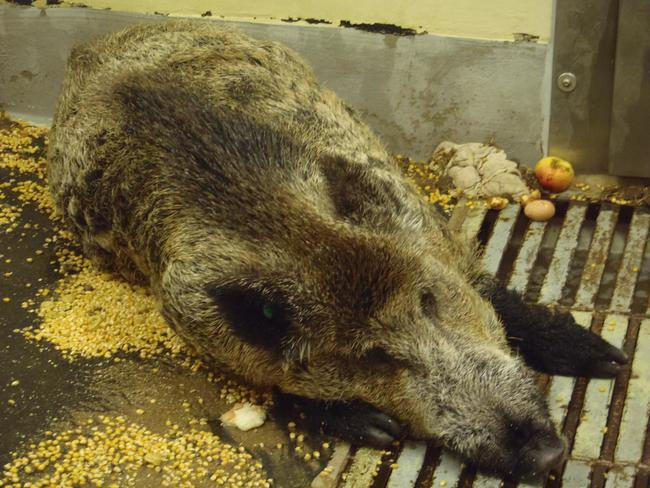 An der afrikanischen Schweinepest (ASP) erkranktes Wildschwein