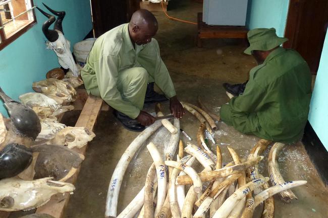 Über 100 Tonnen in 25 Jahren: Tansanische Wildhüter markieren von Wilderern beschlagnahmtes Elefanten-Elfenbein im Selous-Wildtierreservat.