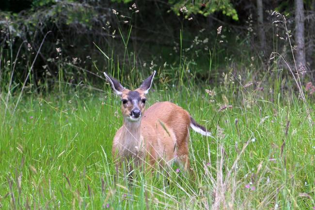_Black-tailed deer (Schwarzwedelhirsch)