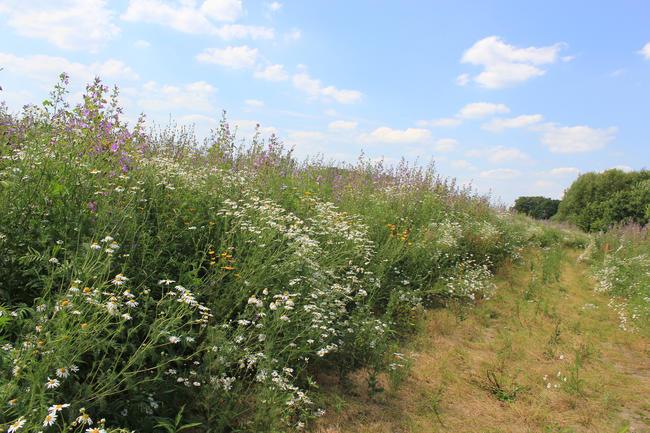 Ertragreiche Wildpflanzenkulturen zur Biomasseproduktion trotzen der Trockenheit - und zwar häufig besser als Mais.