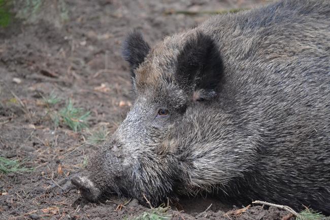 Die Afrikanische Schweinepest ist nur noch 80 Kilometer von Deutschland entfernt.
