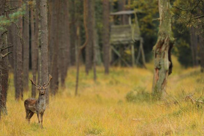 Damschaufler im Herbstwald