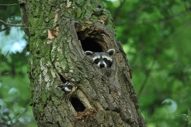 Waschbären haben eine Baumhöhle in Beschlag genommen