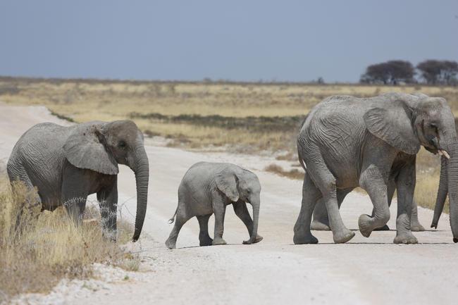 Selbst extrem vorsichtige Schätzungen gehen von mindestens 130.000 Elefanten in Botswana aus.