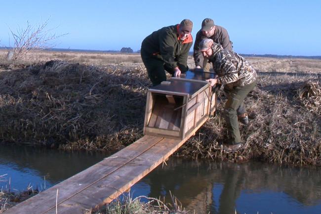 _Aufstellen einer Kastenfalle im für Vögel bedeutenden Brutgebiet  Eiderstedt