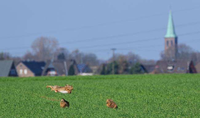 Der Feldhase profitiert von warmen Frühjahren.