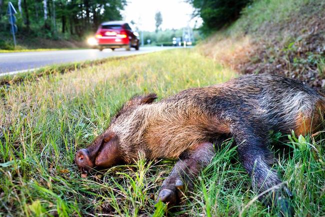 Verunfalltes Wildschwein am Straßenrand nach Wildunfall