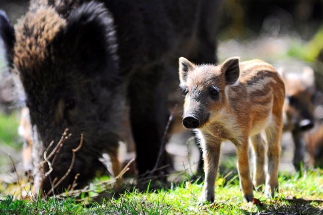 Wenn es um ihren Nachwuchs geht, versteht die Bache keinen Spaß: Aufgebrachte Wildschweinmütter können einen (zu) neugierigen Hund auch mal schwer verletzen.