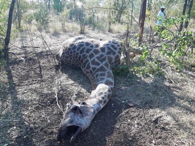 In Schlinge gefangene Giraffe: Wilderei und Lebensraumverlust sind die Hauptgründe für den Rückgang der Giraffen in einigen Ländern Afrikas. Regulierte Jagd reduziert Wilderei zuverlässig.