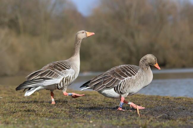 Jagdorganisationen haben das Nordwesteuropäische Wasservogel-Netzwerk gegründet.