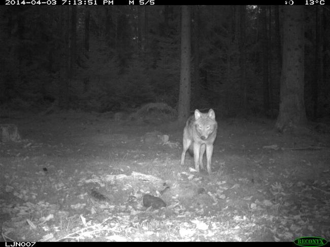 Wildkameraaufnahme Wolf bei Nacht