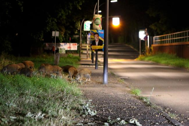 Wildschweine in der Stadt