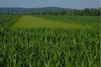 Jagdschneisen: Die Jagd im Mais ist von Mai bis Oktober möglich.