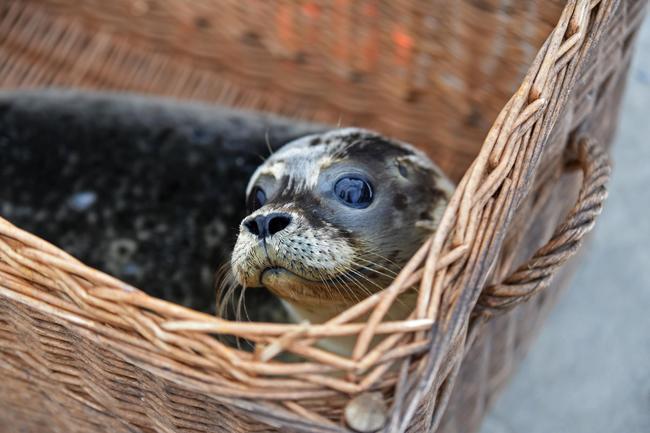 Junge Seehunde in keinem Fall anfassen, da sie sonst verwaisen.