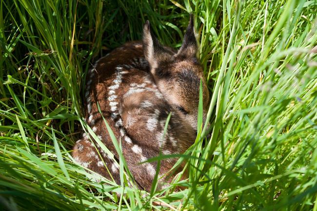Kitze, andere Jungtiere und Gelege von Bodenbrütern sind durch die Frühjahrsmahd besonders gefährdet.