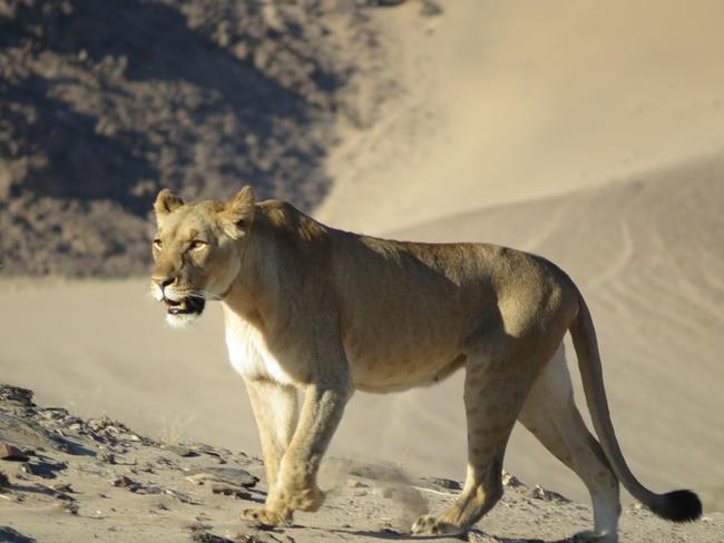 Die Behauptung, wonach nachhaltige, regulierte Jagd die Löwenbestände Afrikas gefährden würde, ist grundfalsch.