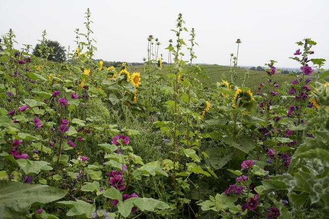Blühstreifen neben Maisfeld