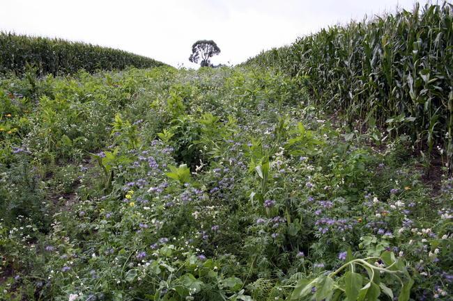 Blühstreifen in großen Feldern bieten Äsung, Deckung und sind ökologische Trittsteine.
