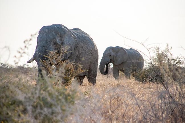 Dank nachhaltiger Jagd wachsen u.a. die Elefantenbestände in Namibia.