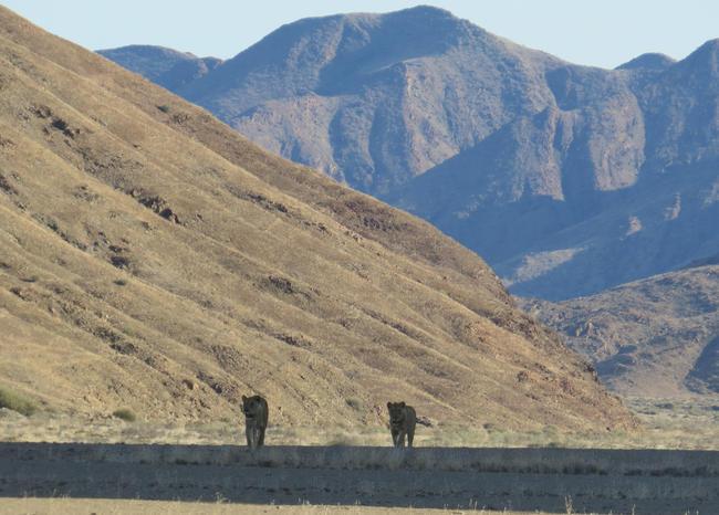 Namibia beherbergt aktuell einen Bestand von ungefähr 800 Löwen. Zwischen 450 und 500 Löwen leben im Etosha Nationalpark.