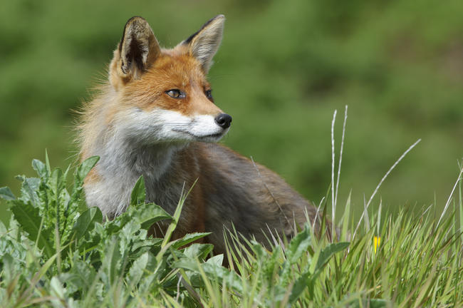 Der DJV hält die Fuchsjagd aus Artenschutzgründen für sinnvoll.