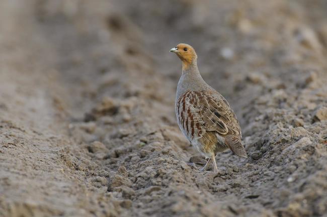 Brachenflächen, die Rebhühnern als Lebensraum dienen, sind in Deutschland rar geworden.