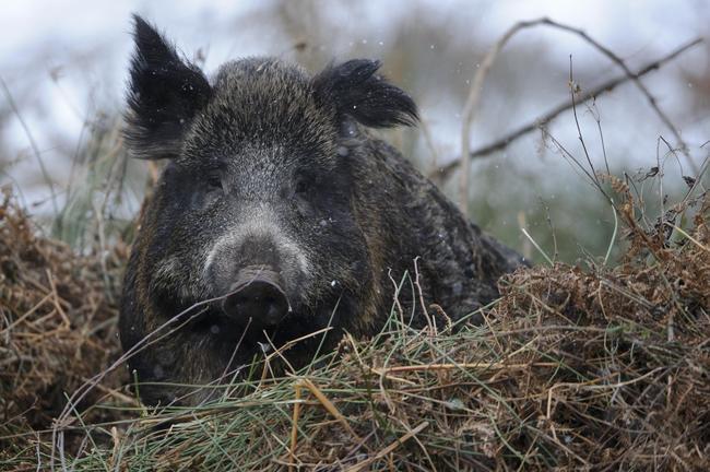Nicht das Wildschwein, sondern der Mensch ist der Hauptüberträger der ASP.
