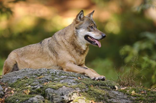 Die Zahl der Wölfe in Deutschland steigt weiter und damit die Herausforderungen.