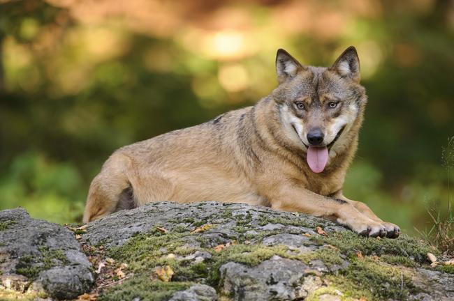 Auf dem Truppenübungsplatz Bergen konnten vier Wolfswelpen nachgewiesen werden.