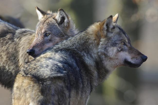In Deutschland hat der Wolf eine Zuwachsrate von 36 Prozent jährlich.