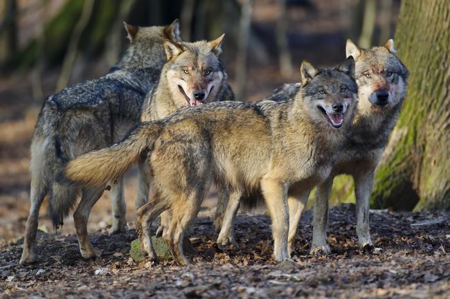 Noch keine einheitliche Lösung in Sicht: Wie geht es mit dem Wolf weiter?