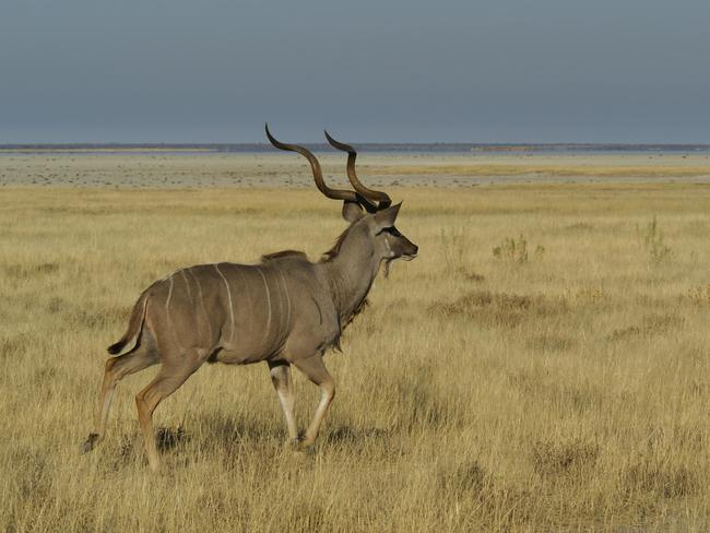 Großkudu in Etosha Namibia